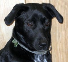 JET is an adoptable Labrador Retriever Dog in Jaffrey, NH. Jet is 2 years old and 40 lbs, he is a super dog. Loves to play with other dogs and is good around kids. Likes to walk and hike, just to be p...