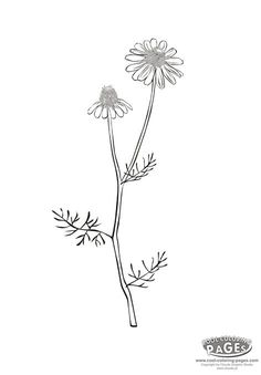 Camomile - free coloring pages