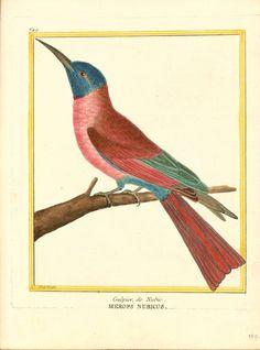 Animal - Bird - Martinet - Hummingbird - Merops nubicus