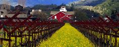 Frog's Leap Winery - Rutherford Cabernet, using biodynamic gardening.