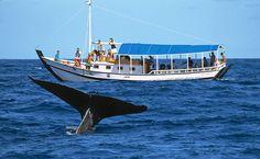 Observação de Baleias Jubarte, em Cumuruxatiba (BA)