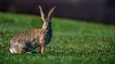 ON ALERT! by Scott Doyle            IN ADDITION TO ALL THE BIRDS AND OTHER WILDLIFE, WE HAVE THOUSANDS OF RABBITS.  I FEAR THAT BETWEEN THE SNAKES, BOBCATS, MOUNTAIN LIONS, AND COYOTES, THESE LOVELY CREATURES ARE SOMETHING'S DINNER.            Scott Doyle: Photos                                 #animals #photography