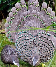 Gray Peacocks via Colorfull at www.Facebook.com/colorfullss