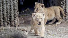 Un Mundo en Paz: El zoo danés que sacrificó a una jirafa mata ahora...