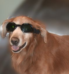 DOGGLES are an important part of laser therapy....another treatment provided here at the COUNTY ANIMAL CLINIC