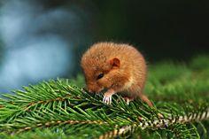Carpathian Sleepy Rodent.