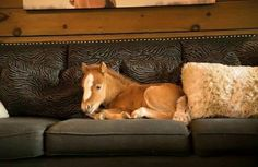 Miniature horse laying down on the family sofa! How sweet is this little horse. I would love a horse in my house sitting on my couch like a lap dog!