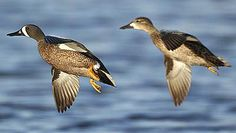 Blue Winged Teal pair Blue Winged Teal, Blue Wings, Swans, Wild Life, Taxidermy, Ducks, Hunting, Beautiful Pictures, Birds