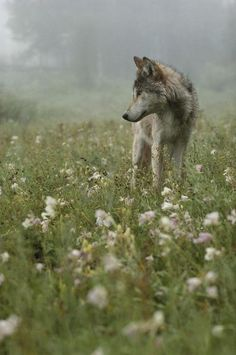 Gray Wolf in Meadow, Sawtooth Mountains, Idaho - photo from Living With Wolves project by Jim and Jamie Dutcher
