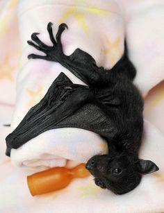 Previous pinner wrote: I am also liking the idea of a baby fruit bat clinging to my arm in this sort of fashion. Cute Baby Bats, Cute Bat, Cute Creatures, Beautiful Creatures, Animals Beautiful, Cute Funny Animals, Cute Baby Animals, Animals And Pets, Fruit Bat