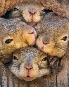 It's a squirrel squeeze! Rodents try to poke through tree hole Cute Funny Animals, Cute Baby Animals, Nature Animals, Animals And Pets, Photo Animaliere, Cute Squirrel, Hamsters, Rodents, Tier Fotos