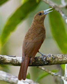 Bernier's Vanga (Oriolia bernieri), female, is endemic to Madagascar. It is threatened by habitat loss. Kinds Of Birds, All Birds, Love Birds, Most Beautiful Birds, Pretty Birds, Exotic Birds, Colorful Birds, Bird Watching, Bird Feathers
