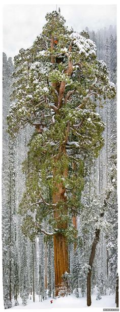 "The President, Sequoia National Park is 3200 years old. ""The President"" is the second most massive tree ever measured: it's 27 feet wide at the bottom and 247 feet tall."