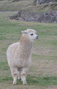 Llama in Sacsayhuaman, Peru