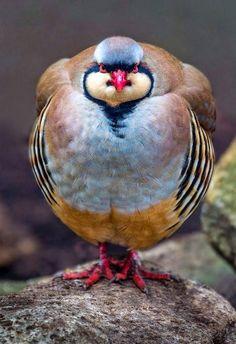 Chukar Partridge ..