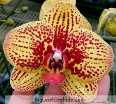 Image from http://www.bigleaforchids.com/coppermine/albums/hybrid/s/normal_Phal_Salu_Peoker_KS1_x_Harlequin.jpg.