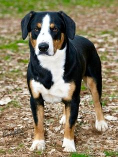 Entlebucher Breeders is an exclusive group of ethical and like-minded breeders who are dedicated to upholding the integrity of the Entlebucher Mountain Dog Breed.