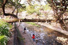 214:「観光で訪れた夙川。松が橋のように伸びていたのには驚きました!」@夙川