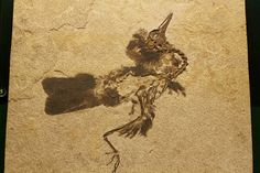 """Unidentified Fossil Bird with Preserved Feathers - Green River Formation - """"Fossil Lake"""" area - southwest Wyoming"""