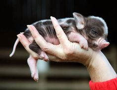 Tiny pigs the size of teacups, as these photos demonstrate, are the latest pet craze sweeping Great Britain. Micro pigs have become so popular in England that Cute Baby Pigs, Cute Baby Animals, Funny Animals, Tiny Pigs, Pet Pigs, Amazing Animals, Animals Beautiful, Miniature Pigs, Baby Animals