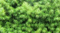The South African native Podocarpus henkelii is a striking specimen that can…