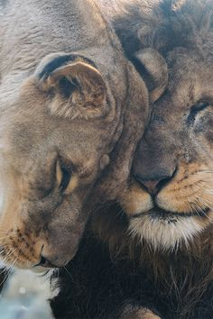 African Lions - Our Love Is Here To Stay by Harimau Kayu