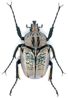 Argyrohegges kolbei Location: Tanzania  Size:5 cm