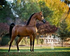 STIVAL (Gazal Al Shaqab x Paloma De Jamaal) 2006 Bay Stallion Gallún Farms, Inc Vestry photo