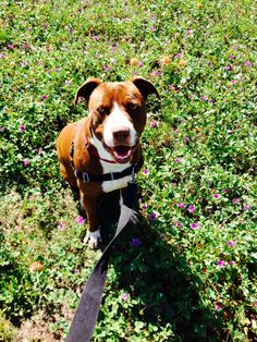 Luke loves #TexasWildflowers! He'd also love a home because he's been at #AustinAnimalCenter for more than one year despite being an easy, mannerly man. Meet him at TLAC (1156 Cesar Chavez in #ATX) today!