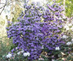 Danger parts of plant are poisonous if ingested bloom color blue