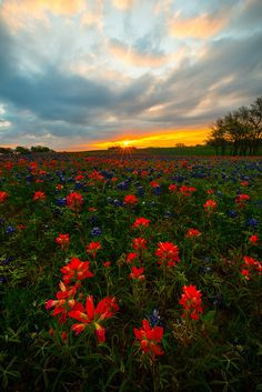 Sunrise Starburst Over Texas Wildflowers - Ennis County, Texas