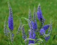 Honoka, the mother of the blue adaptation of the garden balcony potted flowers perennial 50 Home Garden Plants, Home And Garden, Flower Pots, Potted Flowers, Flowers Perennials, Planting Seeds, Garden Supplies, Tropical Plants, Veronica