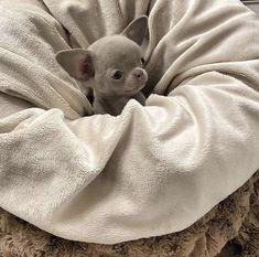 Cute Chihuahua, Chihuahua Puppies, Baby Puppies, Baby Dogs, Cute Puppies, Chihuahuas, Doggies, Amazing Animals, Super Cute Animals