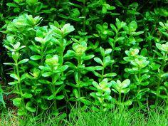 AMMANIA SP.BONGSAI GREEN
