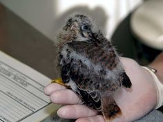 Fluffy orphaned kestrel needs a helping hand. It could be your hand by making a symbolic adoption today.  http://www.torontowildlifecentre.com/adopt-a-baby/