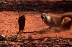 Mongoose confronts cobra.   ps. the moongoose wins.