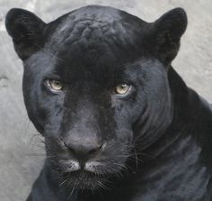 Black Panther is a color variant of any Panthera species. Black Panthers in Asia and Africa are Leopards. Black Panthers in the Americas are Black Jaguars. lt.