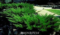 Monrovia's Savin Juniper details and information. Learn more about Monrovia plants and best practices for best possible plant performance.