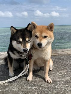Hachiko, Shiba Inu, Akita, Cute Dogs, Husky, Dog Cat, Cute Animals, Cats, Pretty Animals