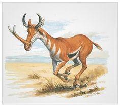 Synthetoceras, Miocene epoch, 13.6--5.33 Ma. Fossils have been found in Nebraska & Wyoming