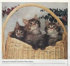 Chantilly Kittens - In an Article of Cats Magazine written by Anne J Helgren - photo belonging to George and Tracy Oraas of Opurrtune Cattery Adorable Kittens, Cute Cats, Cat Magazine, Friend Loves, Cattery, Crazy Cat Lady, Proverbs, Kisses, Cats And Kittens