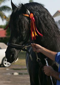 Black Andalusian Horse – Conquistador Del Sol