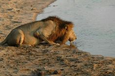 Lion drinking from the water hole