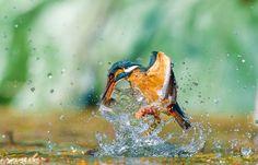 1845x1185 px windows wallpaper kingfisher  by Jackson Williams for : pocketfullofgrace.com