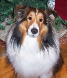 a Shetland Sheepdog..they are so beautiful!!!
