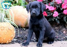 What a gorgeous Black Lab puppy this is! She is ACA registered, vet checked, vaccinated, wormed and comes with a 1 year genetic health guarantee. Labrador Retriever, Labrador Puppies, Retriever Puppies, Corgi Puppies, Equine Photography, Animal Photography, Puppies For Sale, Dogs And Puppies, Yellow Lab Puppies