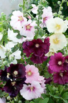 Native and Flower Seeds from Specialty Perennials Love Flowers, My Flower, Beautiful Flowers, Flowers Perennials, Planting Flowers, Flower Plants, Sutton Seeds, Bloom Where Youre Planted, Hollyhock