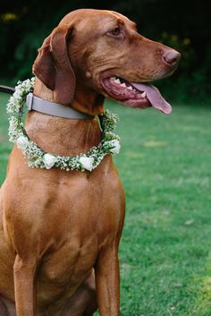 Baby's Breath and Rose Dog Collar