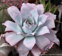 Echeveria cante- my favorite succulent. Depending on sun exposure it can have a celadon colored porcelain appearance. Types Of Succulents, Cacti And Succulents, Planting Succulents, Planting Flowers, Succulent Landscaping, Succulent Gardening, Garden Landscaping, Echeveria, Cactus Planta