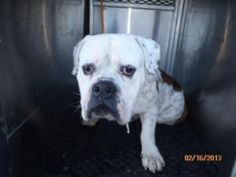 19170069 is an #adoptable American Bulldog Dog in #Irving, #TEXAS. Available:  NOTE: A dog designated as a senior is age 5+ and qualifies for the shelter's Seniors-for-Senior program. More information can b...